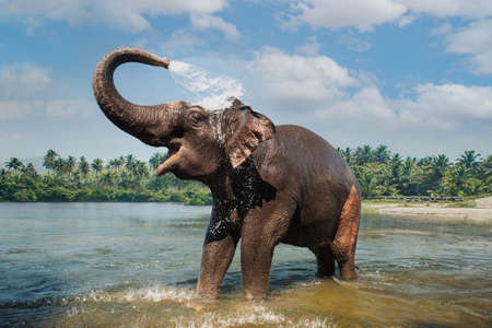 Elephant washing and splashing water through the trunk in the river Foto de archivo