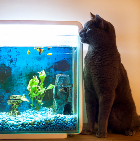 fishtank: British Blue cat sitting close to a fishtank, staring into the fish tank, there are 4 yellow and orange fish in the tank, the cat is grey colour Stock Photo