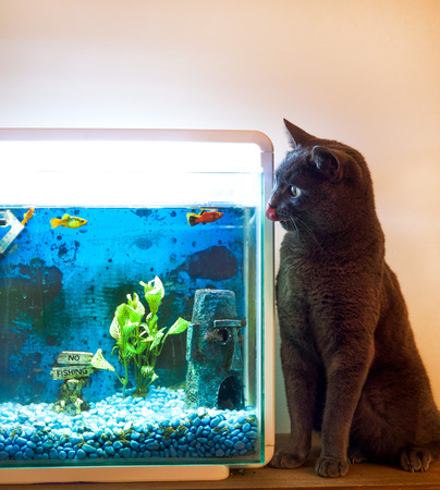 fish tank: British blue cat licking his lips sitting next to a fish tank with orange and red goal fish in the tank, he is staring at the fish and two of the goal fish are swimming very close to looking at the cat.