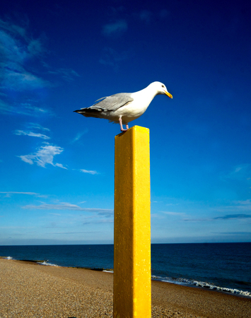 brighton: Seagull resting on yellow post with a beach, sea and blue sky in the background Stock Photo