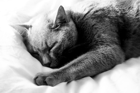 Close up of a British Blue cat's face he is lying down eyes are closed sleeping with an out stretched paw going out of focus the nearer it is to the camera, grey fur and yellow eyes, black and white photograph