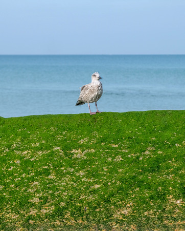 A baby seagull standing on a green seaweed colored wall behind is the blue sea and blue sky there is a lot of space around the seagull suitable for text or copy