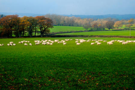 A flock of sixty sheep standing in a field, they are all facing the same direction, the field is in the Sussex Downs, United Kingdom, UK, behind the field are a patchwork of other fields seperated by
