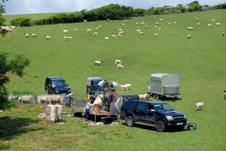 Sheep shearing in the Sussex rolling green hills, England, UK, a mobile sheep shearing station set up in a green field, four people are shearing the sheep and there are about fourty sheep in the field behind and more sheep in a pen waiting to be sheared