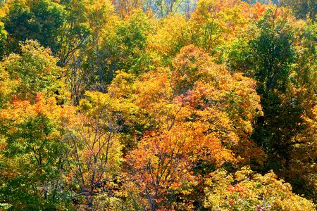 Golden leaves on trees in thick woodland in the Autumn fall, overhead view of the fall tree canopy, bright orange and red colours, Olana State Historic Site, Hudson, New York State, USA
