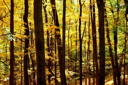 Golden leaves on trees in thick woodland in the Autumn fall, sunlight is streaming through the trees. Olana State Historic Site, Hudson, New York State, USA