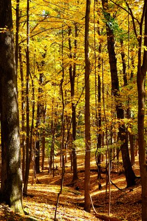 Golden leaves on trees in thick woodland in the Autumn fall, sunlight is streaming through the trees, the forest floor is covered in golden leaves, Olana State Historic Site, Hudson, New York State, USA 免版税图像