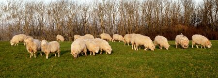 A flock of sheep grazing in a green field with a line of winter trees behind, Sussex, England, UK, United Kingdom, Britian 免版税图像