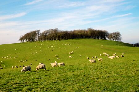 A flock of sheep grazing on a hillside with a circular copse of trees at the top of the hill and blue sky behind, chanctonbury ring, Sussex, England, UK, United Kingdom, Britian 免版税图像