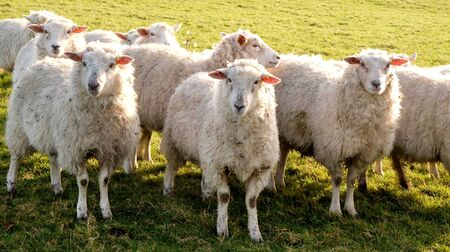 Three sheep standing in a line looking at the camera in a green field, behing is a flock of sheep, Sussex, England, UK, United Kingdom, Britian