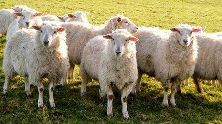 Tres ovejas de pie en una línea mirando a la cámara en un campo verde, detrás hay un rebaño de ovejas, Sussex, Inglaterra, Reino Unido, Reino Unido, Britian