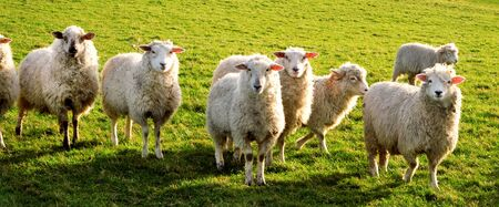 Seven sheep standing in a line looking at the camera in a green field, Sussex, England, UK, United Kingdom, Britian