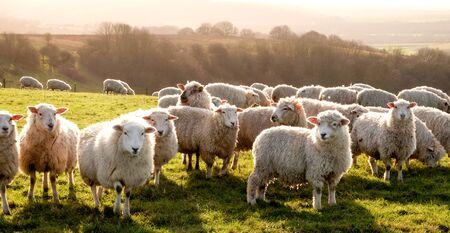 Eight sheep standing in a line looking at the camera in a green field with a flock of sheep grazing in the background, Sussex, England, UK, United Kingdom, Britian