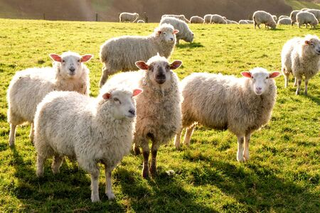 Four sheep standing in a line looking at the camera in a green field with more of the flock of sheep in the background, Sussex, England, UK, United Kingdom, Britian 免版税图像