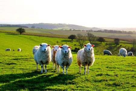 four sheep standing in a line looking at the camera in a green field, with a flock of sheep behind, Sussex, England, UK, United Kingdom, Britian, copy space around the sheep