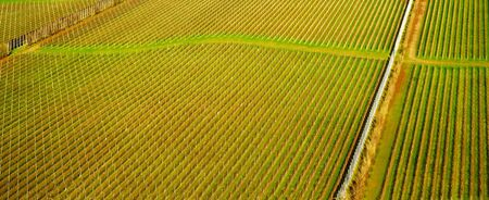 Sussex, England, United Kingdom, wine growing region, hundreds of lines of grape vines in an English vineyard growing in straight lines with green grass in the middle, the vines are on a rolling hillside forming beautiful shapes and patterns in the countryside.