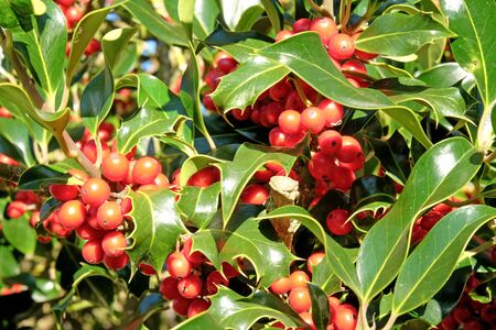 close up of red holly berries and green leaves on a holly bush at Christmas