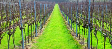 Sussex, England, United Kingdom, wine growing region, rows of long straight grapevines in the winter in an English vineyard, bright green grass runs down the centre of the vines, UK.