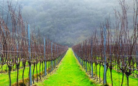 Sussex, England, United Kingdom, wine growing region, rows of long straight grapevines in the winter in an English vineyard, bright green grass runs down the centre of the vines in the background is a hill of trees, UK.  免版税图像