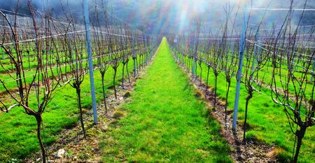 Sussex, England, wine growing region, rows of long straight grapevines in the winter in an English vineyard, bright green grass runs down the centre of the vines and a hallow light from the sun is glowing in the sky, United Kingdom, UK.