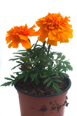seedlings of French marigolds ready to be planted out of vat or with the garden photo