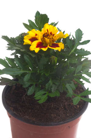 seedlings of French marigolds ready to be planted out of vat or with the garden Stock Photo - 9956391