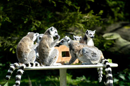 Family of lemurs to the zoo photo