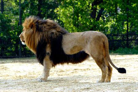 portrait of a lion  版權商用圖片