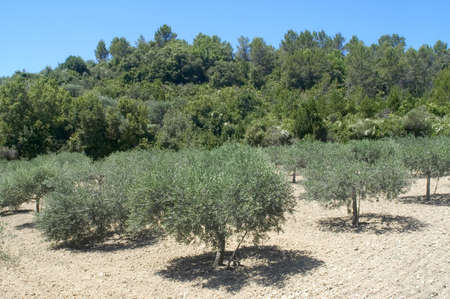 Fields of olive-trees in the south-east of France, the department of Gard  Stock Photo - 16294607
