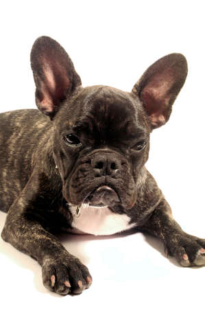 French bulldog on white background in studio photo