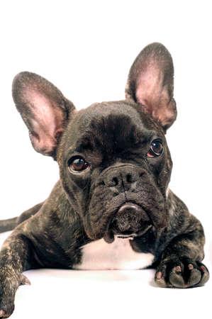 French bulldog on white background in studio