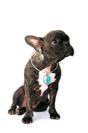 whim: French bulldog on white background in studio