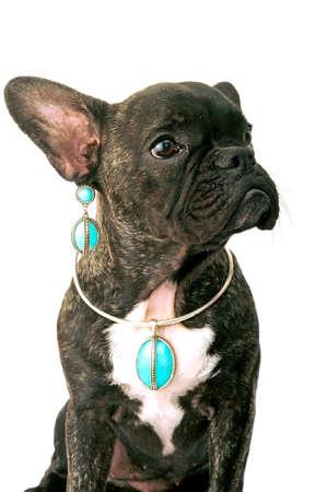 whim of fashion: French bulldog on white background in studio