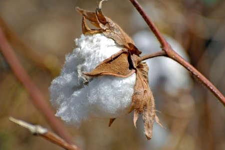Cotton flowers in a field in Africa Burkina Faso