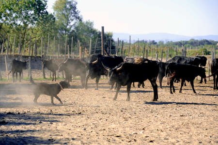 gardian: the herdsman bull dog at work in the French Camargue region