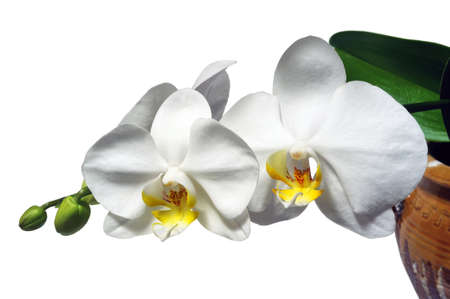 white stones: Phalaenopsis white orchid species easy maintenance photographed in studio on white background