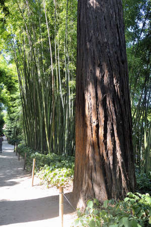 almost all: Redwood in the park of Anduze bamboo where almost all species are represented and promoted in an Asian garden.