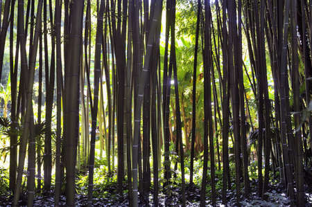 almost all: Park Anduze bamboo where almost all species are represented and promoted in an Asian garden. Stock Photo