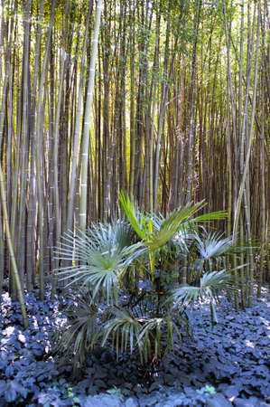 promoted: Park Anduze bamboo where almost all species are represented and promoted in an Asian garden. Stock Photo