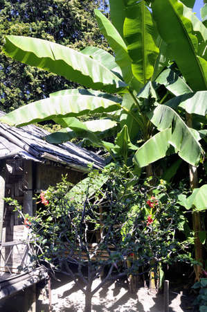almost all: banana tree in the park Anduze bamboo where almost all species are represented and promoted in an Asian garden
