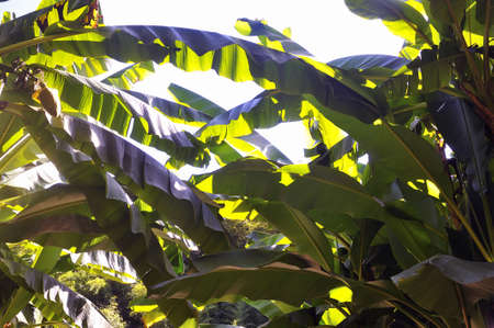 promoted: banana tree in the park Anduze bamboo where almost all species are represented and promoted in an Asian garden