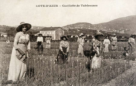 old postcard: old postcard of Riviera, picking tuberous Editorial
