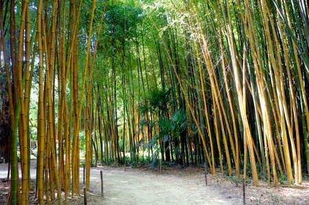 background texture: Bamboo forest in the Anduze bamboo plantation in the French department of Gard Stock Photo