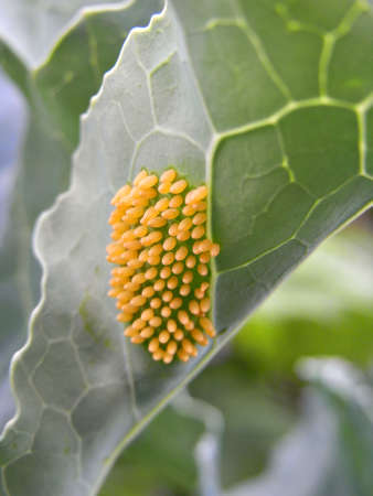 larvae: Butterfly larvae on a cabbage leaf                                          Stock Photo