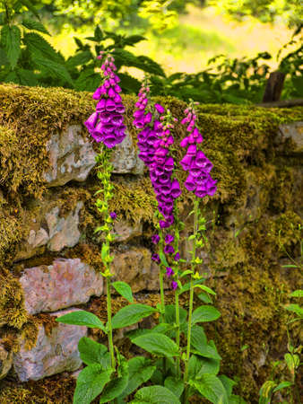 drystone: Foxgloves growing out of a drystone wall in Wycoller