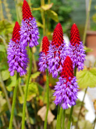 Red tipped pyramids of the Primula vialii orchid plant photo