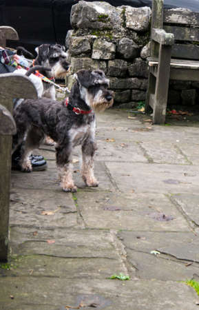 wharfedale: Two Schnauzer dogs in the village of Grassington Yorkshire