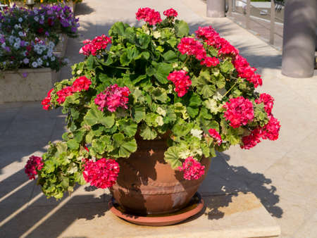 kefallonia: Large display of red geraniums outside the Anassa hotel in Skala Kefalonia in Greece
