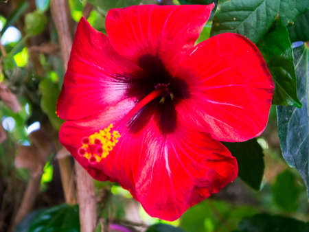 kefallonia: Red hibiscus flower in Kefalonia Greece