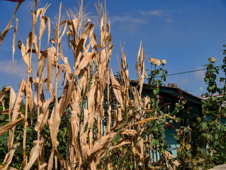 Tall dried corn plants in the garden of a traditional house in Kefalonia Greece photo